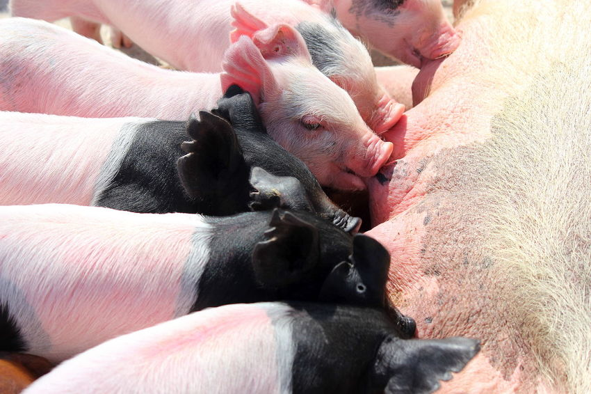 50+ Pig Pictures HD | Download Authentic Images on EyeEm