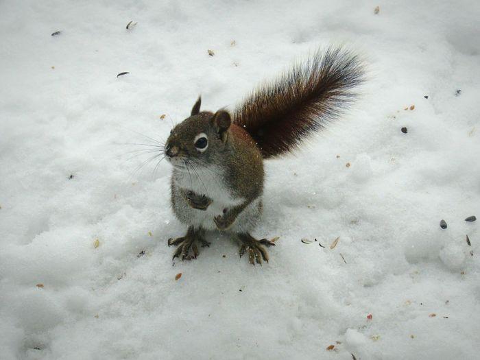 Alone Seul Neige Quebec Hiver Cold Petit Little Winter écureuil Squirrel Eat Roux
