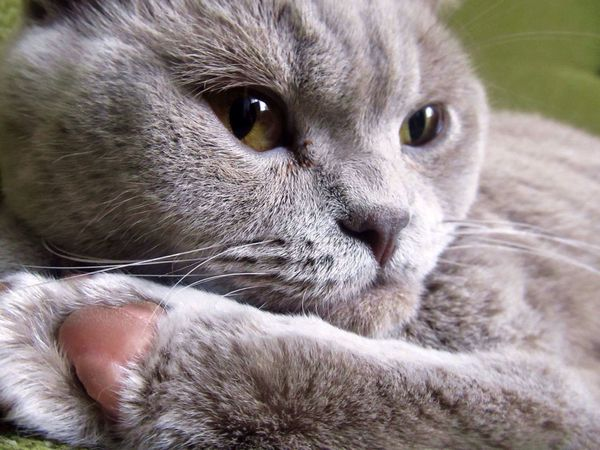 Cat My Cat Cutie British Shorthair Cute Beautiful Paw Animal Kitty Pet Hello World Check This Out