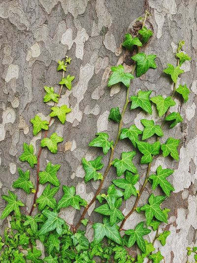 ivy Nature_collection Nature Backgrounds Wallpaper Trunk Detail Trunk EyeEm Best Shots Plant Part Backgrounds Full Frame Close-up Green Color Plant Life Growing Leaf Vein Ivy Leaves Leaf Creeper Plant Creeper