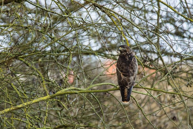Mäusebussard Bussard  Buteo Buteo Animal Themes Animal Wildlife Animals In The Wild Beauty In Nature Bird Branch Buzzard On Tree Buzzards Day Low Angle View Mäusebussard Nature No People One Animal Outdoors Perching Tree