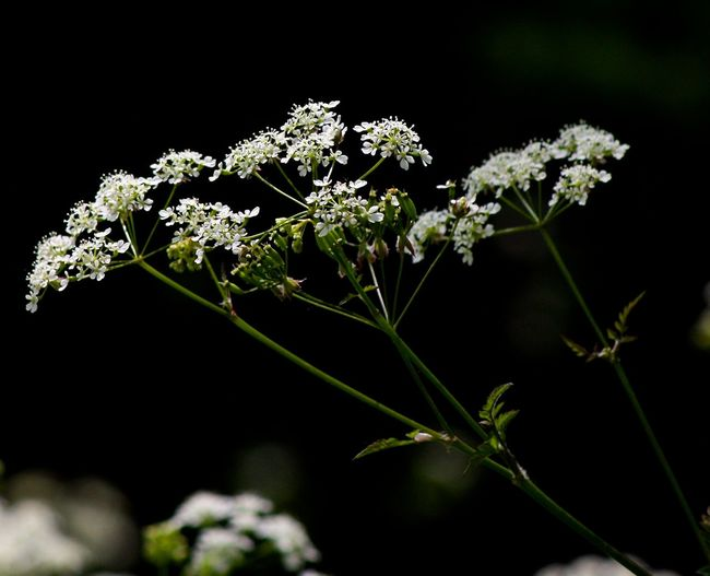 Beauty In Nature Close-up Cow Parsley Day Flower Flower Head Fragility Freshness Growth Nature No People Outdoors Plant