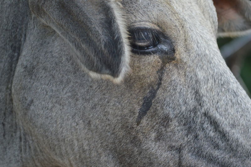 Crying Cow Animal Animal Body Part Animal Eye Animal Head  Animal Themes Close-up Crying Crying Animal Emotions Focus On Foreground Herbivorous Imphal Mammal Nature No People Outdoors Portrait Snout Zoology