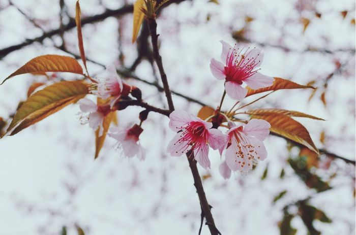 Growth Flower Nature Fragility Beauty In Nature Close-up No People Freshness Low Angle View Petal Flower Head Branch Day Outdoors Tree Plant Sky Plum Blossom
