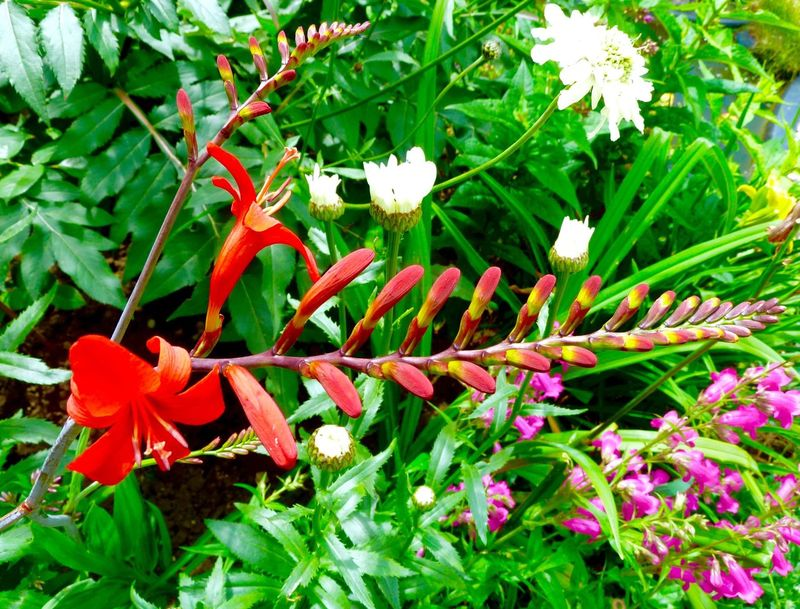 Crocosmia Penstemon My Garden English Garden Plants And Flowers
