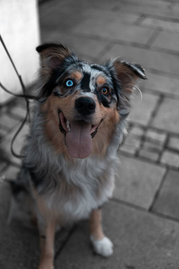 Dog with two eye color Blue Eyes Brown Eyes Animal Canine Colourpop Crazy Dog Day Different Eye Color Different Eyes Dog Domestic Domestic Animals Focus On Foreground Footpath High Angle View Looking At Camera Mammal Mouth Mouth Open No People One Animal Pets Portrait Standing Two Eye Colors