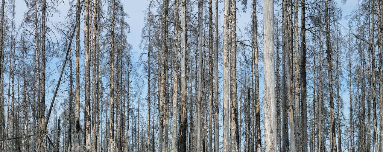 Row of pine