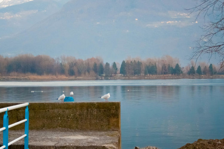 Animal Themes Animal Wildlife Animals In The Wild Beauty In Nature Bird Day Iseo Lake Lago Lake Lake View Langbart Lovere Lovere Lake Nature No People One Animal Outdoors Perching Pigeon Reflection Scenics Sky Swan Tree Water