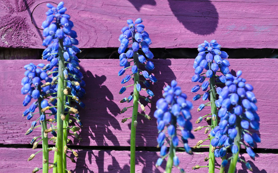 Lovely flowers :) Architecture Blue Flower Day Flowers Flowers,Plants & Garden Garland Grape Hyacinth Grape Hyacinths Muscari Hanging Multi Colored Muscari No People Outdoors Purple Purple Shed RHS Rhs Cardiff