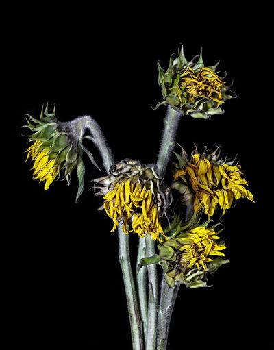 Black Background Flower Flower Arrangement Flower Head Flowering Plant Petal Studio Shot Sunflower Wilted Plant Yellow