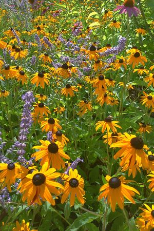 Flora Flowers Garden Sunlight Light And Shadow Landscape Outdoors Yellow Petals Blackeyedsusans Black-eyed Susan Floral Pattern Nature Natures Diversities Growth Change Bright Purple Flowers Green Leaves Milford Massachusetts The Great Outdoors - 2017 EyeEm Awards Mix Yourself A Good Time The Week On EyeEm Paint The Town Yellow