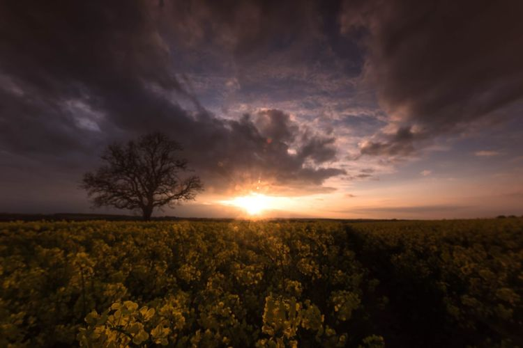 Slowly dying sun Fieldscape Clouds And Sky Sunset Trees And Sky Rapeseed Fields Of Gold Fields And Sky The Great Outdoors - 2018 EyeEm Awards Northamptonshire Rapeseed Field Rushden British Summertime British Countryside Summer Days Lone Tree Sky Beauty In Nature Cloud - Sky Tranquility Tranquil Scene Plant Scenics - Nature Landscape Field Sunset Rural Scene Sunlight Tree