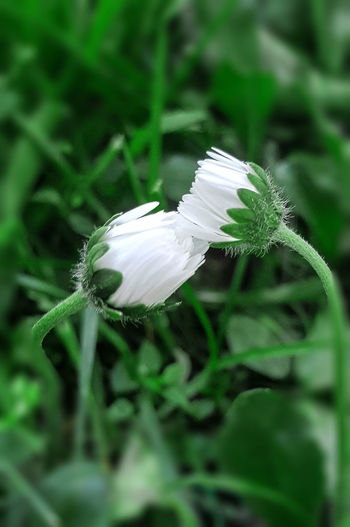 love one tries Beauty In Nature Close-up Daisy 🌼 Day Flower Flower Head Fragility Freshness Green Color Growth Leaf Nature No People Outdoors Plant White Color