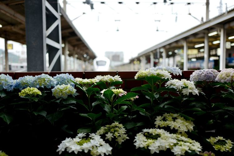 Nagasaki Today : Nagasaki-shi City Of Flower Hydrangea ( Ajisai in Nagasaki is also called otaksa / おたくさ ) in Nagasaki Station Kamome 885 Short Trip Start to Hakata, Fukuoka Todays Weather Report in Nagasaki Flower Head Plant Growth Close-up Selective Focus Foreground Focus 31, May 2017 1st shot