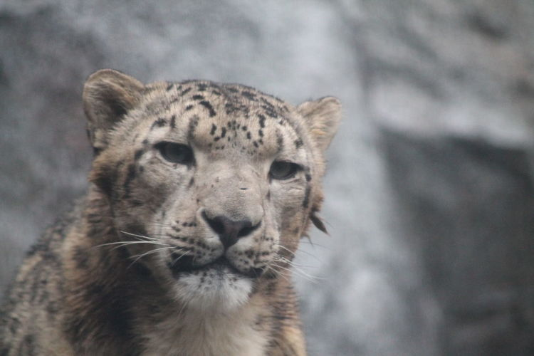 Close-up of a snow leopard looking away