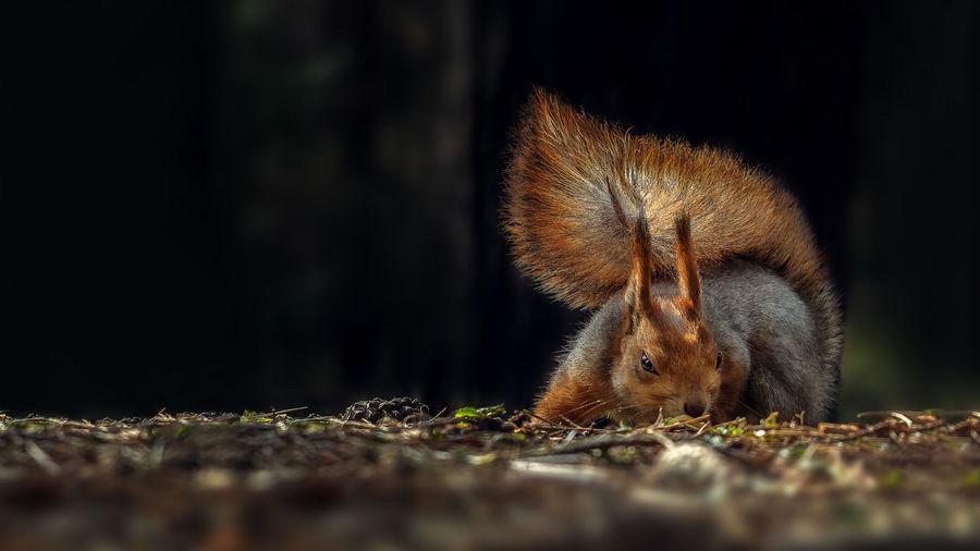 Outdoors Full Length Animal Wildlife One Animal Evil Evil Look  Evileyes Evilsmile Evil Squirrel Squirrel Photo Squirrel Angry Squirrel Angry Face Angry Red Squirrel Rearing Up Energetic