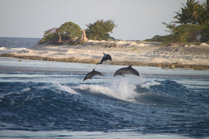 Animal Wildlife Animals In The Wild Dolphins Jump Rangiroa Polynésie Blur Lagon Sea Sea Life Swimming Wave
