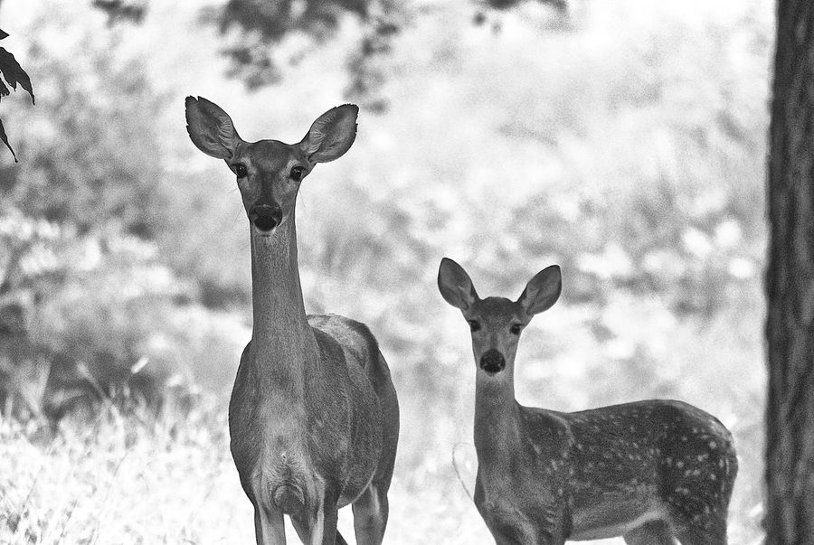 Animal Head  Animal Themes Day Deer Doe Domestic Animals Herbivorous Livestock Looking At Camera Mammal Plant Standing Two Animals Working Animals Zoology