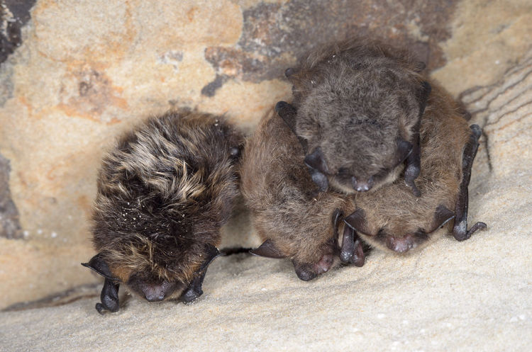 The northern bat (Eptesicus nilssonii) and Brandt's bat (Myotis brandtii) Animals In The Wild Chiroptera Hibernation Nature Wildlife & Nature Winter Animals Bats Europe Mammal Nature Conservation Wildlife