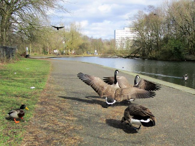 Aggressive Animal Themes Animal Wildlife Canada Geese Chasing Day Geese Nature Outdoors Park - Man Made Space Running Spread Wings Wings Spread Wingspan