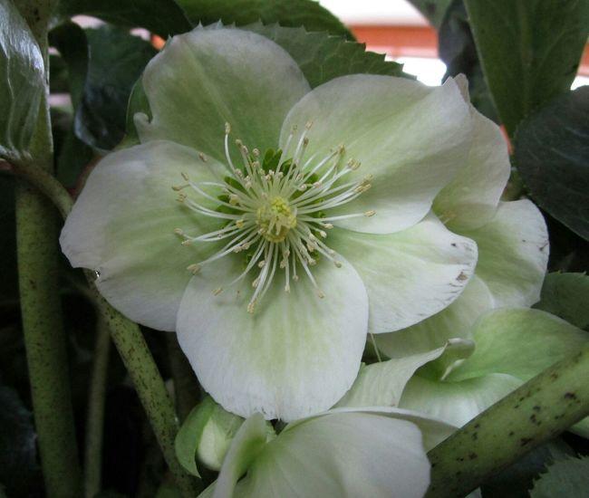 Flowerforfriends Floralperfection Eyeemflowerlover Helleborus Flowerlove Lovemillionsflowers