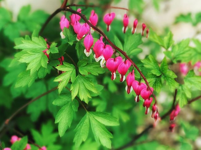 Growth Leaf Green Color Nature Plant Beauty In Nature Flower Focus On Foreground Freshness No People Outdoors Pink Color Close-up Day Fragility Branch Flower Head Tree Bleeding Heart