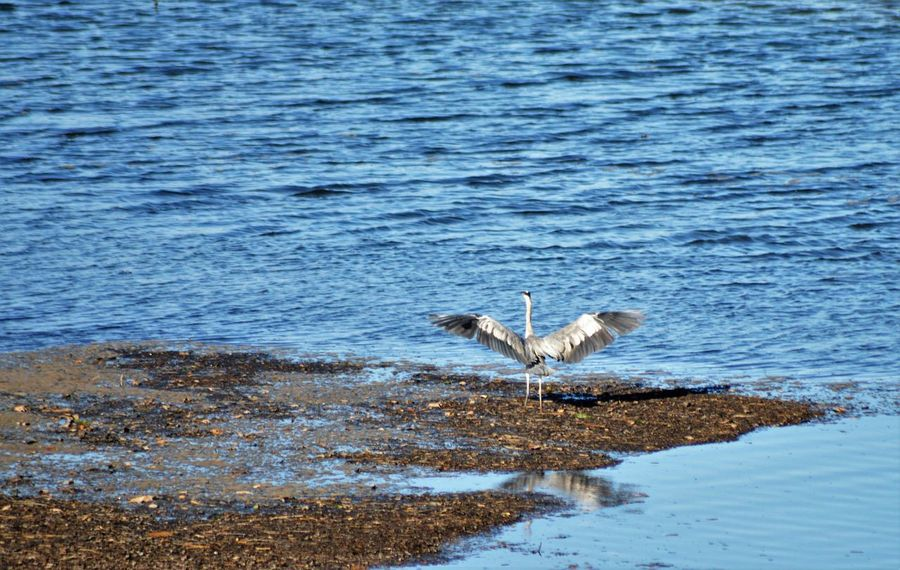 Herons on the Plym estuary in the Autum sunshine Capture The Moment Serenity Animal Themes Animal Wildlife Animals In The Wild Beauty In Nature Bird Feather  Fishing Flap Flying Heron In Flight Lake Nature Ocean One Animal Outdoors River Sea Soaring Spread Wings Wading Water Water Bird