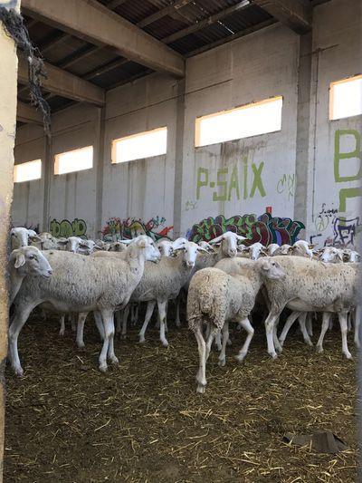Rebano De Ovejas Explotación Animal Granjas Esclavitud