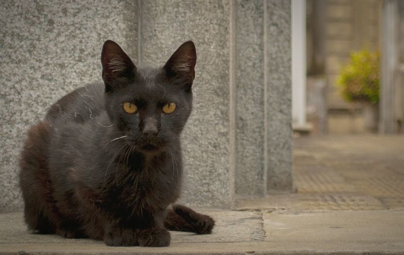 Pets One Animal Black Color Feline Portrait Looking At Camera Yellow Eyes No People Animal Close-up Outdoors Recoleta Cemetery Cats