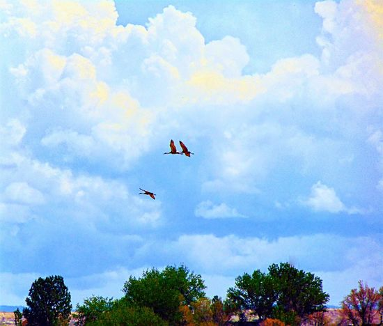 Beauty In Nature Birds Blue Cloud Cloud - Sky Cloudy Day Flying A Kite Growth High Section Low Angle View Mid-air Multi Colored Nature No People Outdoors Sandhill Cranes Scenics Sky Tranquil Scene Tranquility Tree Wyoming