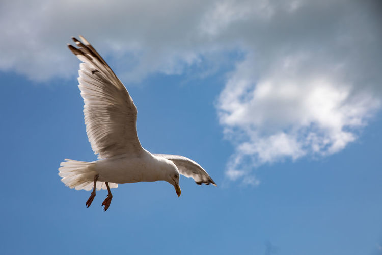 Seagull in flight with blue sky and light cloud background Animal Animal Themes Animal Wildlife Animals In The Wild Beauty In Nature Bird Blue Cloud - Sky Day Flapping Flying Low Angle View Mid-air Motion Nature No People One Animal Outdoors Seagull Sky Spread Wings Vertebrate