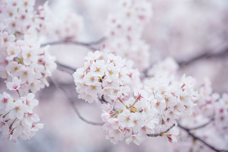 Close-Up Of White Cherry Blossom Growing On Branch