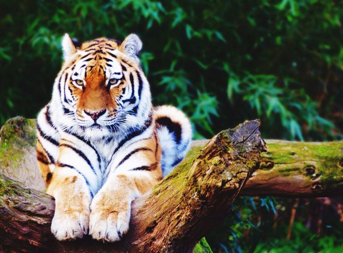 A relaxed tiger Tiger Animals In The Wild Animal Themes Big Cat Animal Wildlife Mammal Outdoors Nature