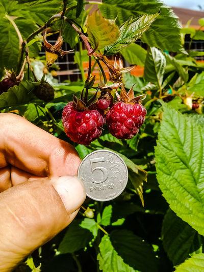 Hand holding strawberries
