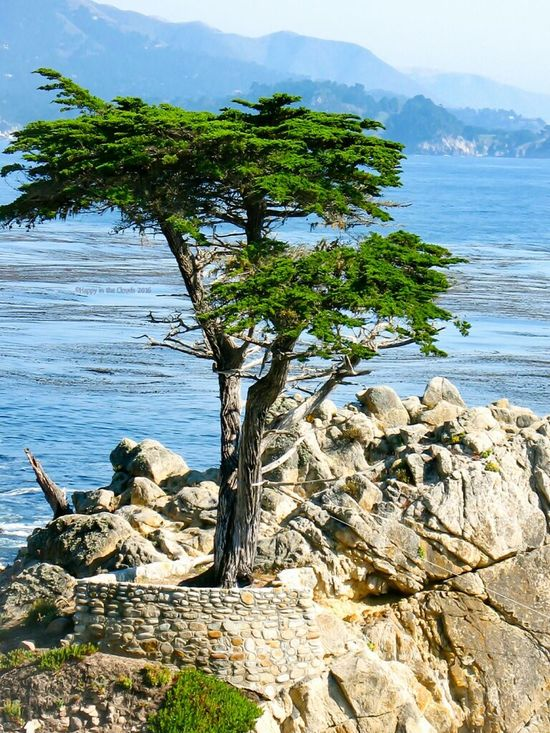 Lone Cypress Monterey California Nature 17 Mile Drive Peaceful