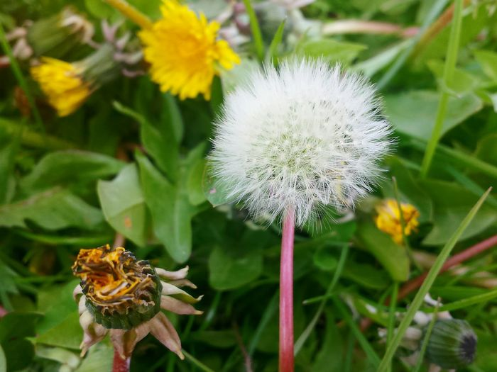 Close-up of dandelion blooming outdoors