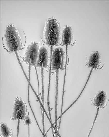 Teasels edited in black and white Teasel Teasels Teasel Thistle Thistles Plant Growth Nature Beauty In Nature Plant Stem Black And White Black And White Collection  Black And White Photography Close-up Flowering Plant Sky Background Background Sky