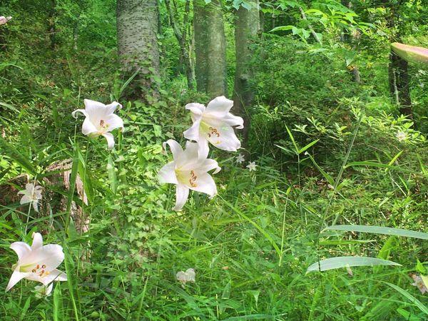ササユリ White Color Beauty In Nature Lily @rt Simple Elegance 林の中 … 進入💨