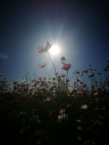 20th September, 014 Siheung South Korea Autumn Cosmos Flower Flare Sun