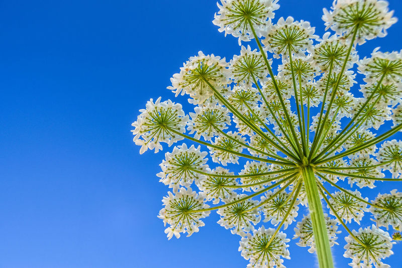 A variety of Heracleum known in North of Norway as Tromsø Palm. Palm Tree Tromsø Palm Beauty In Nature Blue Clear Sky Close-up Day Flower Flower Head Freshness Growth Heracleum Low Angle View Nature No People Outdoors Plant Sky Springtime Underneath