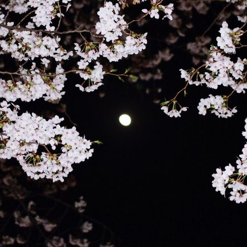 Flower Flowers Spring Flowers EyeEm Nature Lover Cherryblossom Moon Moon Light