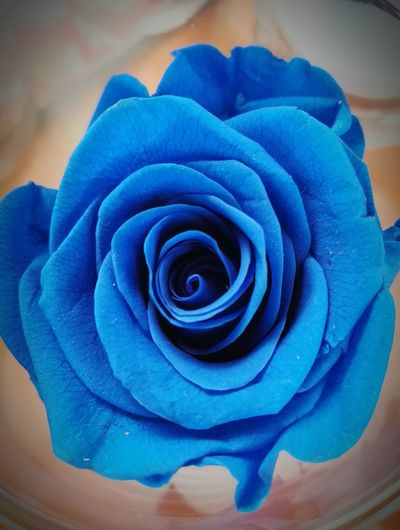 Flower Collection Flower Photography Taking Photos Blue Rose Colorful Roses As A Gift With Flowers Rose🌹 Rose - Flower Beauty In Nature Plant Blossom No People Soft Focus Beauty Growth Botany