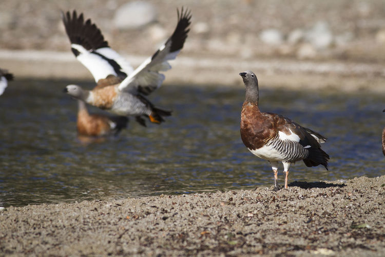 Cauquen Real posing on the shores of the lake nahuel huapi Argentina Argentina} Bariloche Bird Bird Photography Birds Birds Of EyeEm  Photography Wild Wildlife & Nature