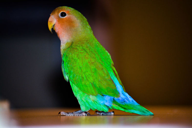agaporni Agaporni Agapornis Pajaros Bird One Animal Green Color Animal Parrot Animal Wildlife Indoors  Pets Animal Themes No People Animals In The Wild Perching Nature Close-up Day