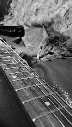 Eyeemanimal Lover Rescuecat Relaxing Hanging Out Taking Photos Enjoying Life Cats MyBoy Capo Houseofguitars Guitar Addiction Coco'sPics Strings Neck Guitar Guitar Strings Capokitty Guitarcat