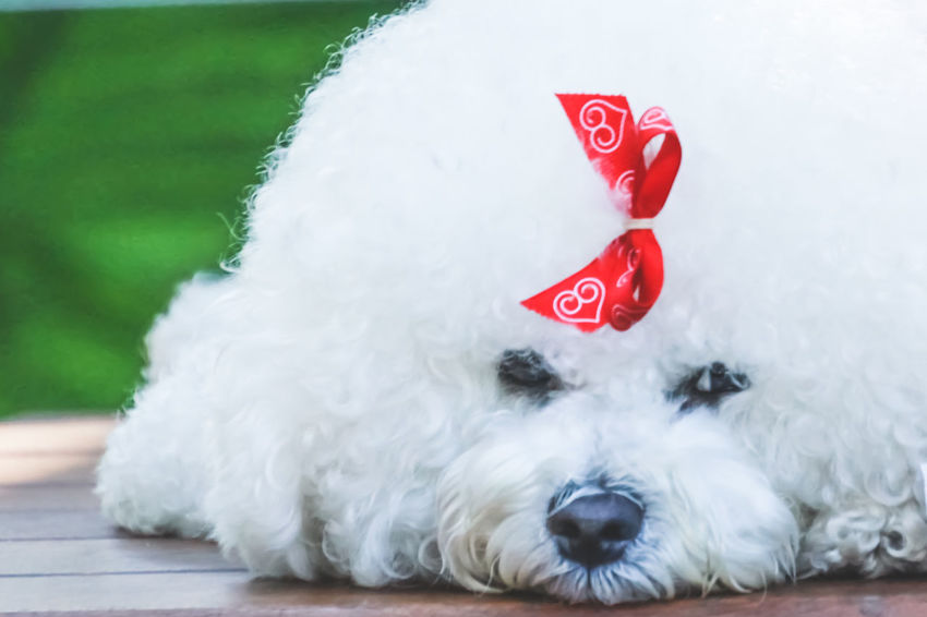 Pet Portraits Animal Head  Animal Portrait Animal Themes Close-up Day Dog Domestic Animals Mammal No People One Animal Outdoors Pet Pets Red White Color