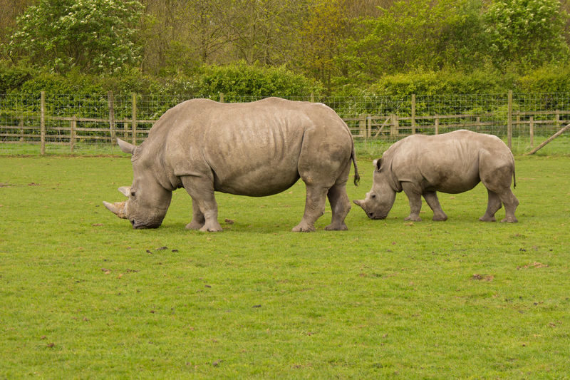 Animal Themes Animals Animals In Captivity Day Field Green Mammal Mother And Baby No People Outdoors Rhinoceros Safari Tree Young Animal Zoo