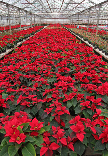 Poinsettia. Field of red Christmas star flowers in greenhouse for sale. Background texture photo of Christmas star flowers, floral pattern Poinsettia, selective focus Christmas Star Christmas Star Flowers Christmas Star Plant Field Green Holidays New Year Poinsetta Flowers Poinsettia Flowers Poinsettia Plants Red Winter Christmas Decoration Christmas Star Flower Joy Poinsettia Poinsettia Flower Poinsettia Variety Poinsettias Sales