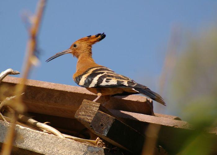 Bird Photography EyeEmNewHere No People EyeEm Nature Lover South Africa 🇿🇦 Beauty In Nature Birdwatching Bird African Hoopoe Upupa Africana