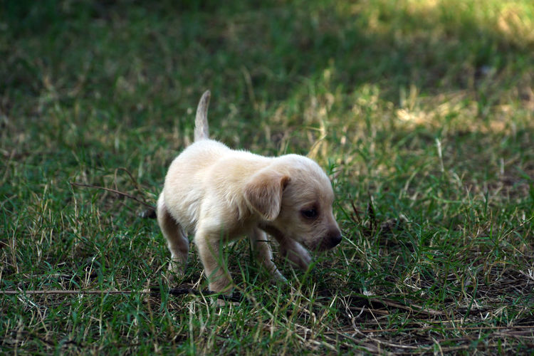 A Labrador Puppy in green grass! Puppy Labrador Juvenile Dog Animal Themes One Animal Mammal Animal Domestic Pets Grass Domestic Animals Dog Canine Plant Young Animal No People Small Nature Standing Day Full Length Lap Dog Motion A Labrador Puppy In Green Grass!